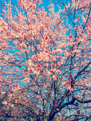 Cherry Blossoms, Allamuchy NJ 6