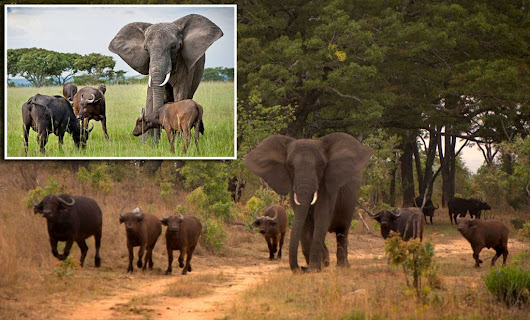Elephant who thinks she's a buffalo- joins herd from different species