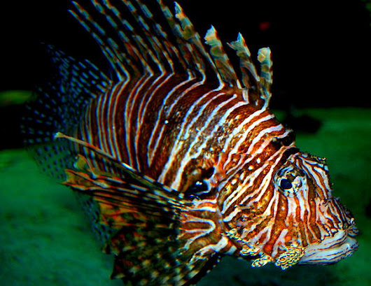 Lionfish IIi by Rebecca West