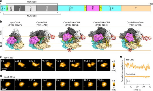 Real-space and real-time dynamics of CRISPR-Cas9 visualized by high-speed atomic force microscopy | Nature Communications