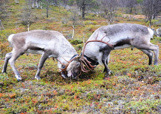 STEM SIGHTS: The Concordia prof who studies mating systems among reindeer and caribou