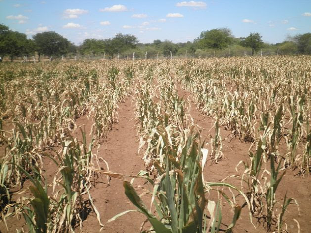 A cornfield in Zimbabwe shrivels under poor rainfall conditions that affected the crop nationwide. Credit: Busani Bafana/IPS