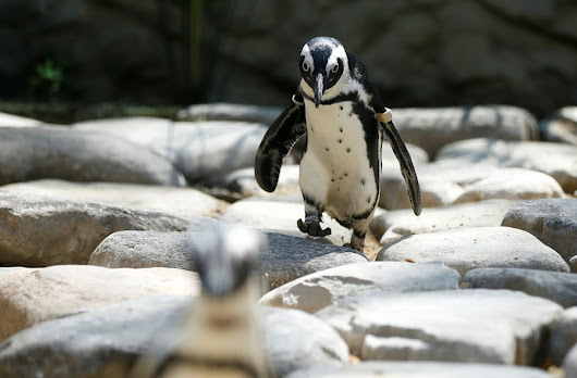Scientist fear climate change could cause the endangered African penguin to die out