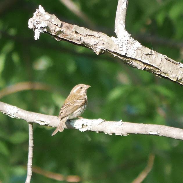 Ed Gaillard: birds &emdash; Purple Finch, Prattsville, NY