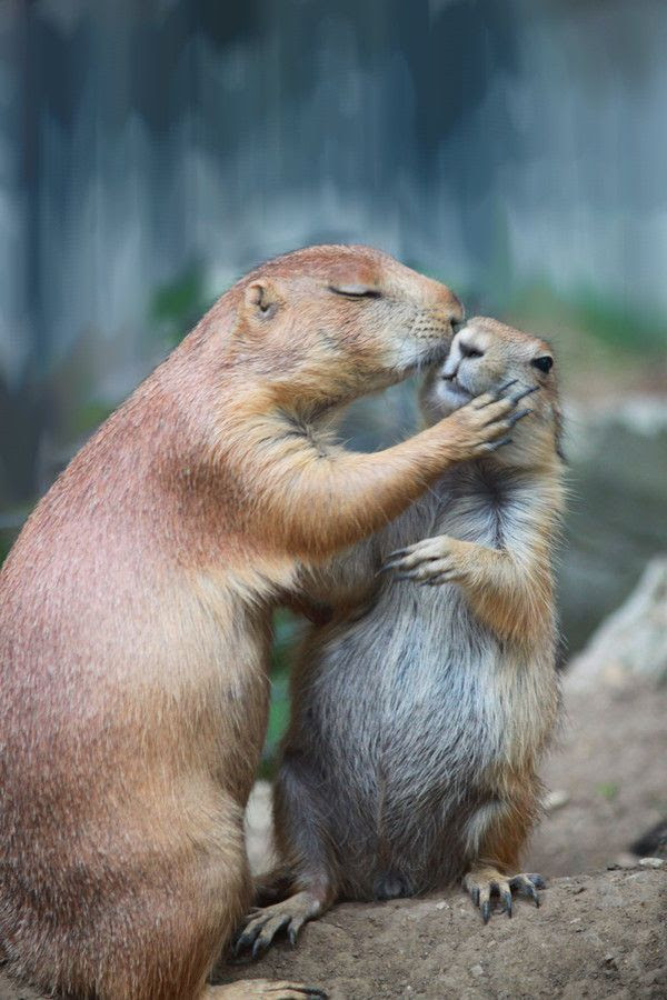 1000+ ideas about Prairie Dog Hunting on Pinterest   Prairie dogs ...