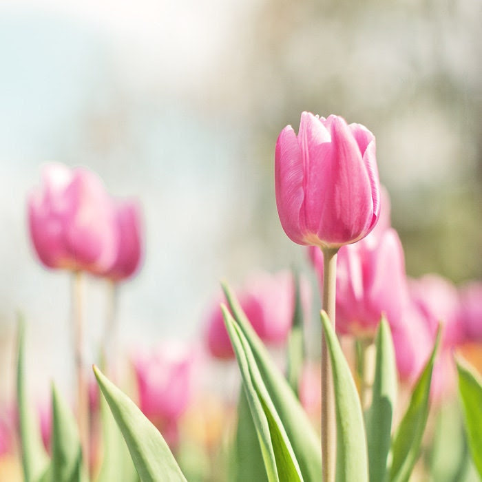Tulips photograph -  8 x 8 fine art photography print - spring pink tulips sky romantic green home decor