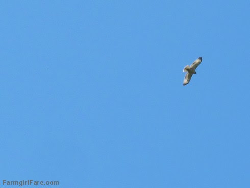 (19-17) Hawk circling overhead - FarmgirlFare.com