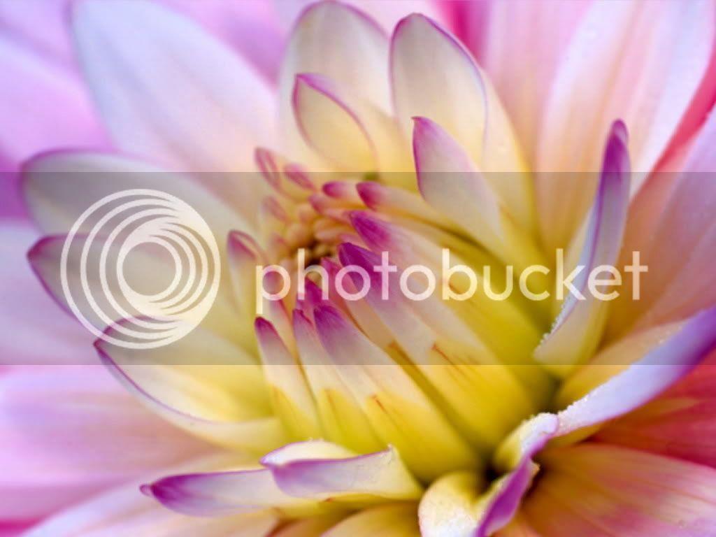 Yellow_Dahlia.jpg flower image by Angellin16