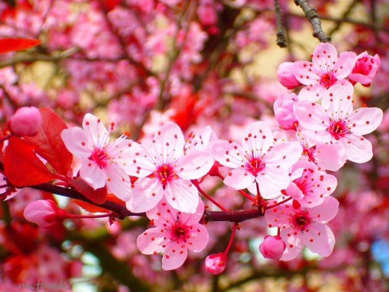 4000 Gambar Bunga Sakura Tercantik Di Dunia Terbaru Infobaru