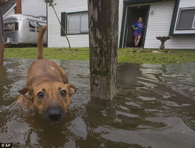 A dog walks out into flood waters  in Bacliff, Texas, on Saturday after Hurricane Harvey