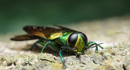 Emerald Ash Borer Treatment: How to Save Your WI Trees by M&M Tree