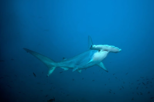 What it's Really Like to Swim with Hammerhead Sharks in La Paz