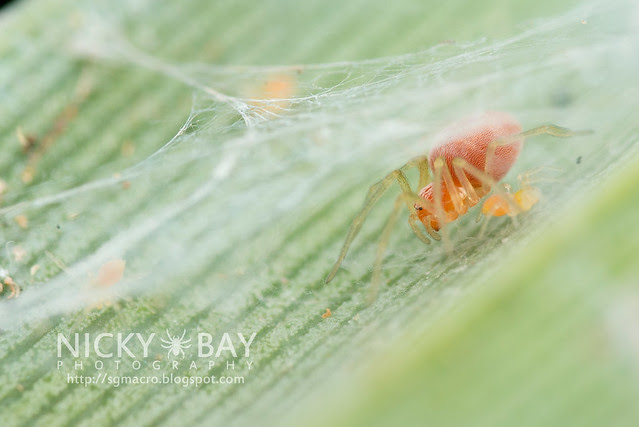 Mesh Weaver Spider (Dictynidae) - DSC_6328
