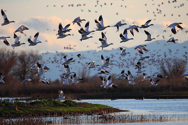IMG_4360 Snow Geese, Sacramento NWR