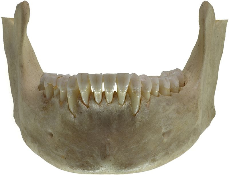 Human jawbone front.jpg
