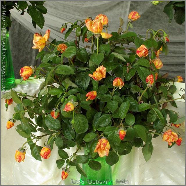 Rosa 'Dębski' - Róża