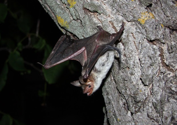Morcego Myotis myotis, da Bulgária  (Foto: Stefan Greif/Divulgação)