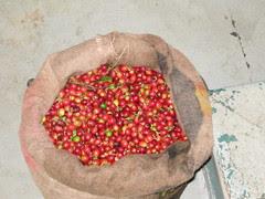 Bag of Coffee Cherries