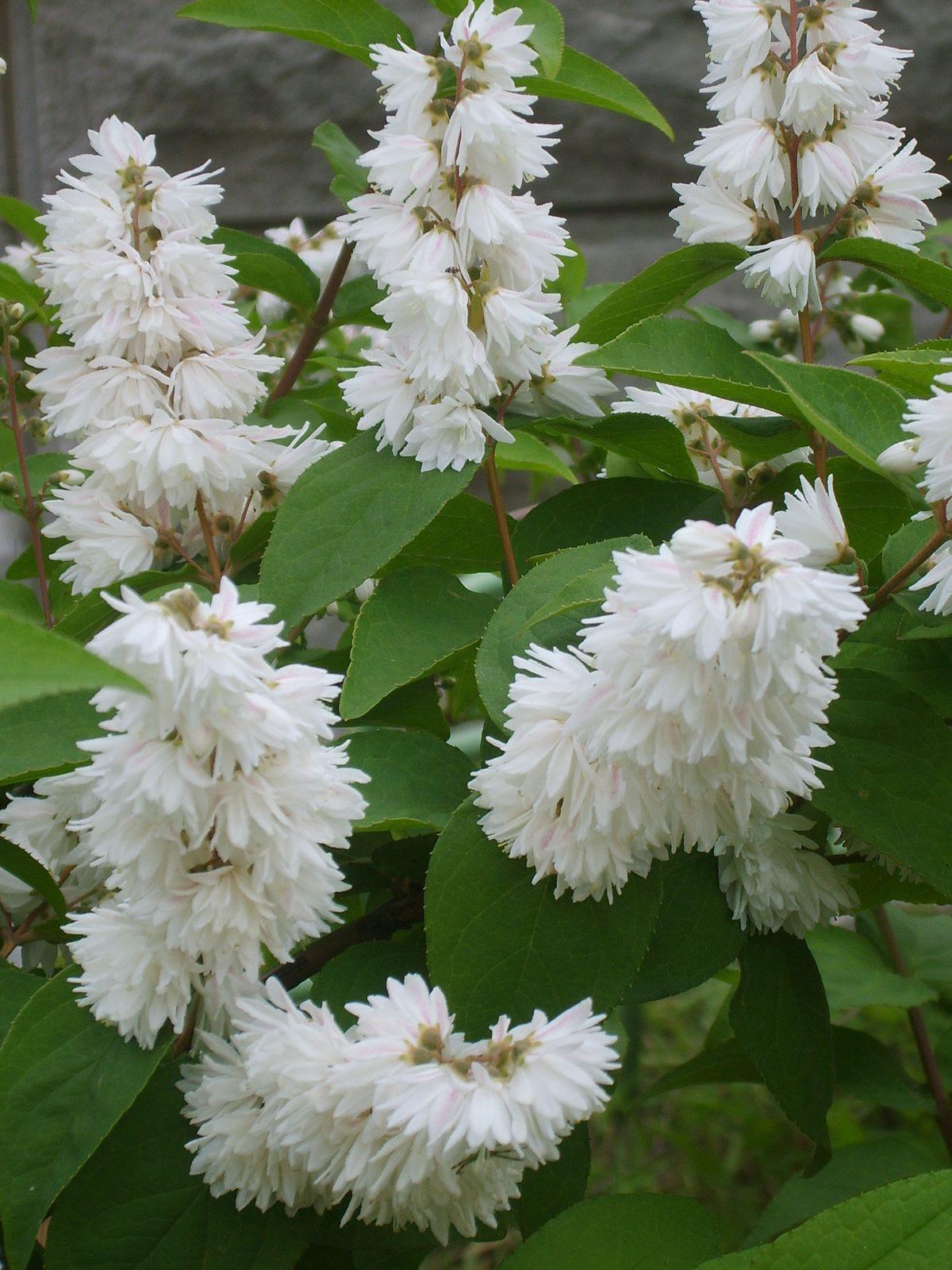 Deutzia crenata for. plena's flowerage 02.JPG