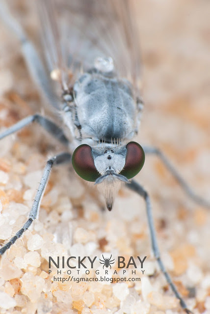 Robberfly (Asilidae) - DSC_3032