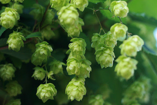Researchers are brewing up medicines from beer hops