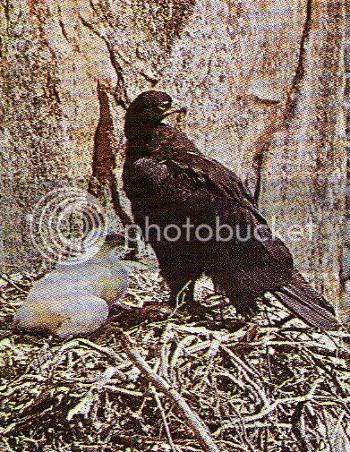 Pg6-4, BLACK EAGLE