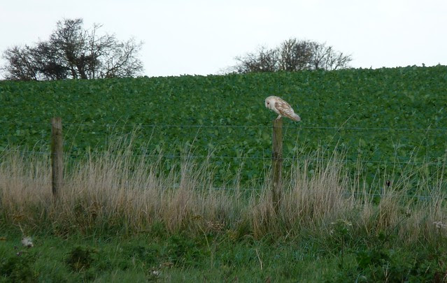 25220 - Barn Owl, Norfolk