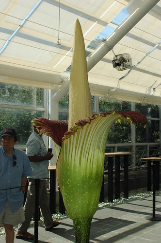 "Titan Arum ""Baby"", Full View"