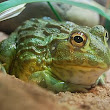African Bullfrog Care, Feeding and Terrarium Design