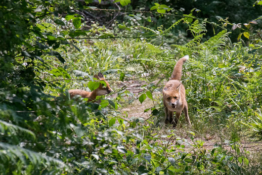 Fox cubs, flowers and insects - summer in the woods