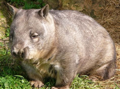 Let's Draw Endangered Species! : ): Hairy nosed Wombat