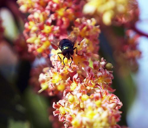 嘴裡含著蜜汁的果蠅