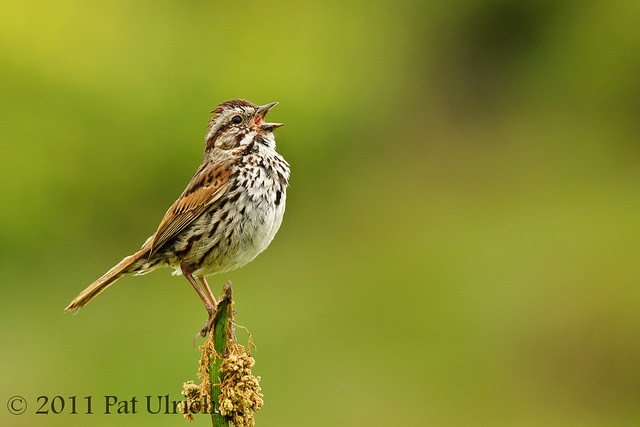 Singing song sparrow - Pat Ulrich Wildlife Photography