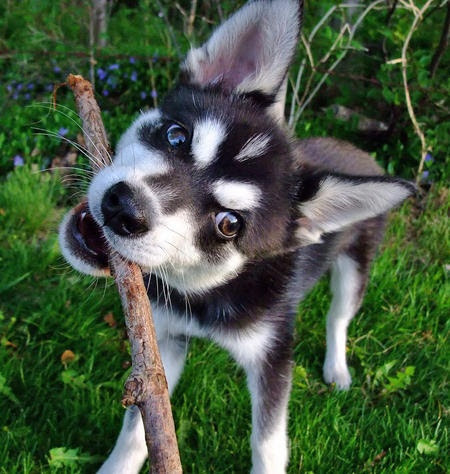 Alaskan Klee Kai – DogInfo411.com