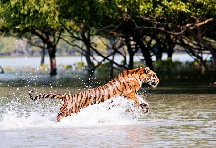 Famous Royal Bengal Tiger at Sundarban National Park