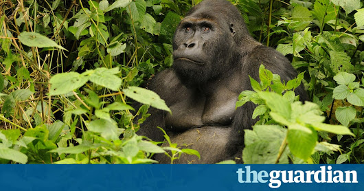 Eastern gorilla now critically endangered while giant panda situation improves | Environment | The Guardian