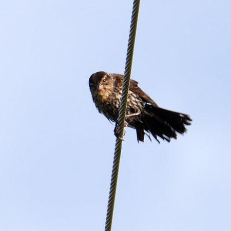 Ed Gaillard: birds &emdash; Red-Winged Blackbird, Prattsville NY