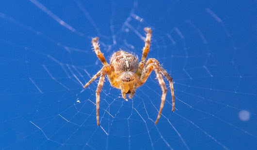 Orb Weaver Spider: - Orb Weaver Spider - Platinum Pest Solutions