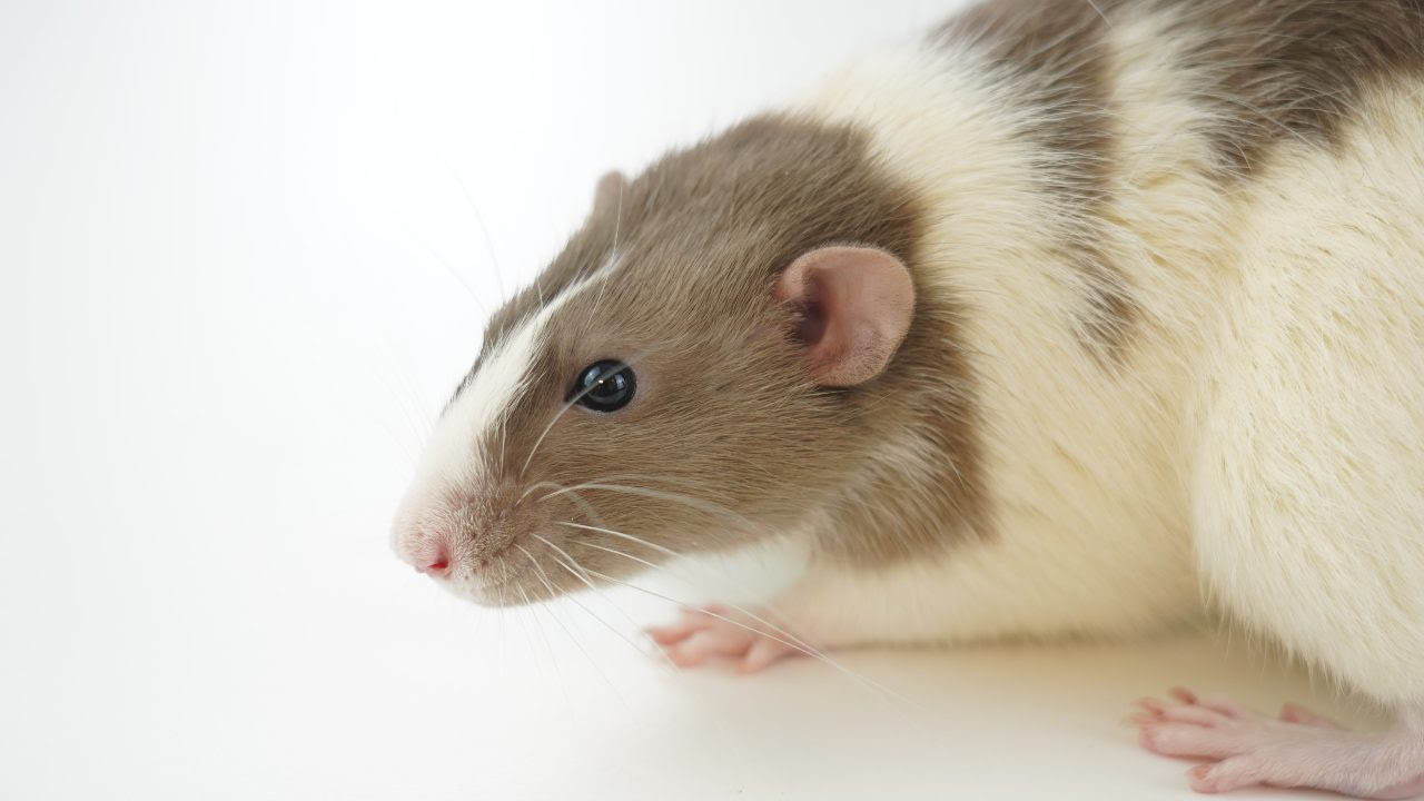 Researchers decided to carry out experiments on oxygen-deprived mice, pigs and rats using two methods: delivering the oxygen into the rectum in gas form, and infusing an oxygen-rich enema via the same route.