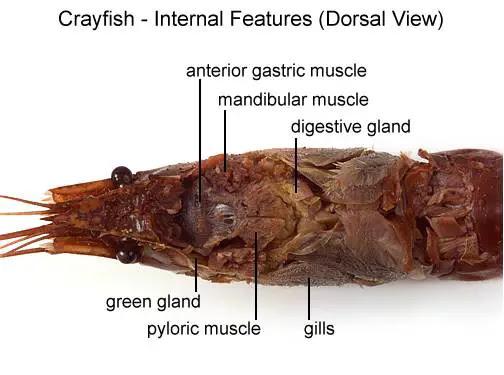 Crayfish42D