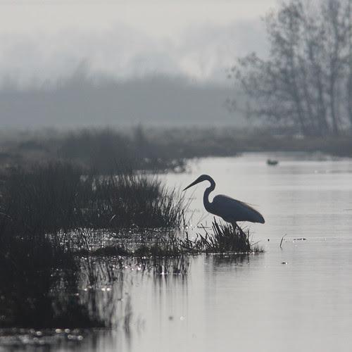 Grote zilverreiger, Great White Egret por Pepijn Hof