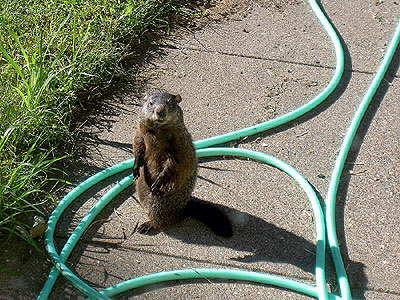 Groundhog outside kitchen