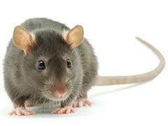 Rats et souris   Canada.ca