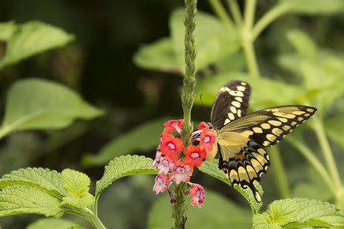 Giant Swallowtail II by bahayla