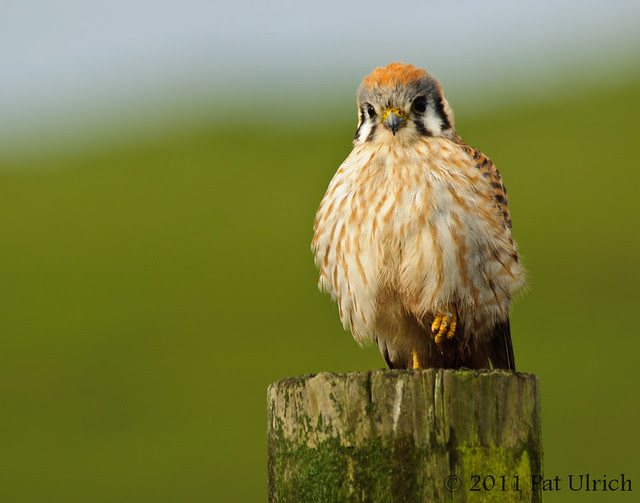 Friendly kestrel in Point Reyes - Pat Ulrich Wildlife Photography