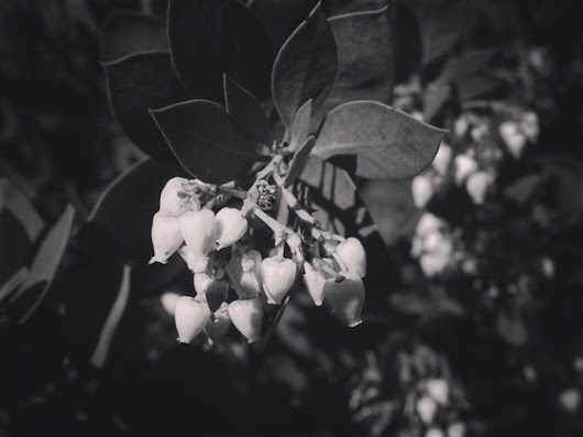 My Word with Douglas E. Welch » Manzanita flowers in black & white