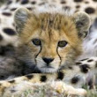 Stop the Capture and Trade of Cheetahs - The Petition Site