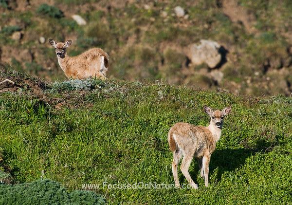 Juvenile Blacktail Deer