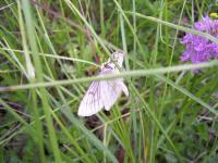 papillon_nocturne_siona_lineata_geometridae