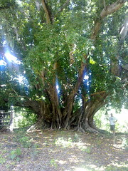 Ancient fig